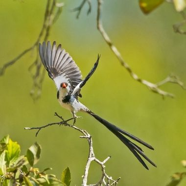 Pin-tailed Whydah DSC06751