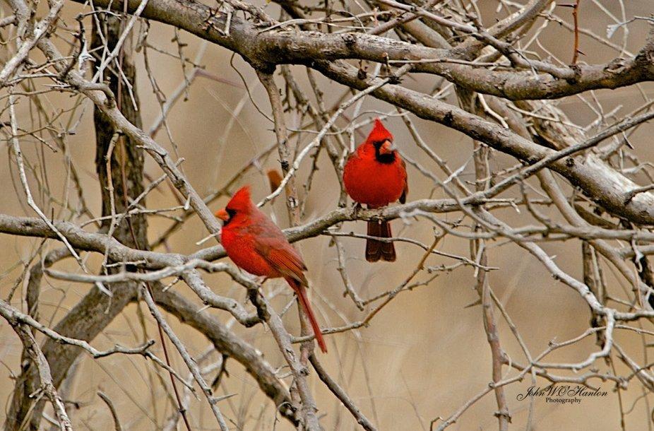 cardinals by John O'Hanlon