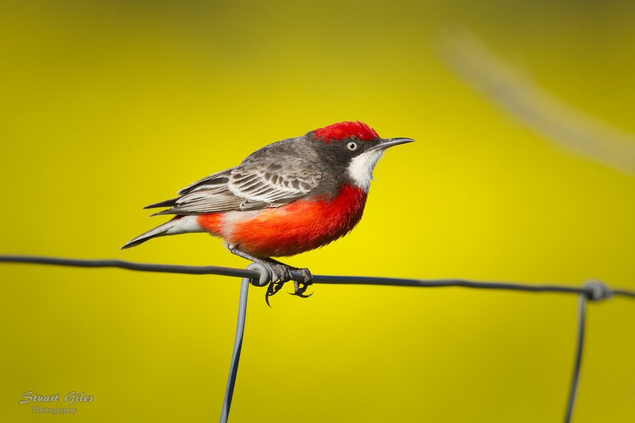 Male Crimson Chat, yellow canola background