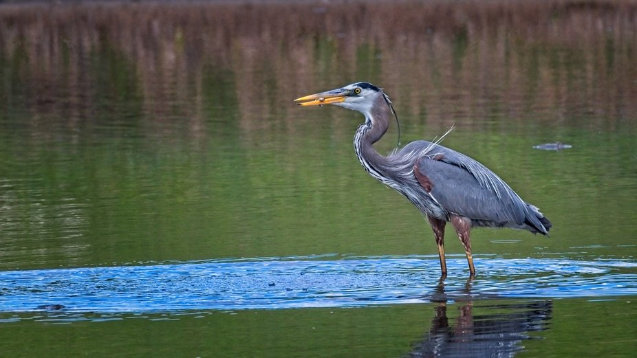 Blue Heron Searching for Something to Eat