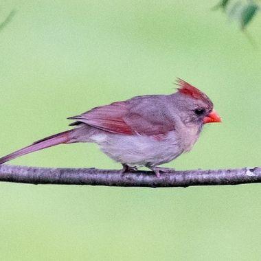 Cardinal DSC_3810