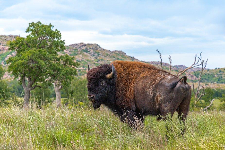 A bison at Wichita Mountains Wildlife Reserve.