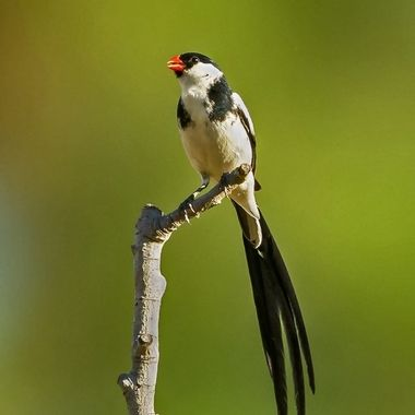 Pin-tailed Whydah DSC06865