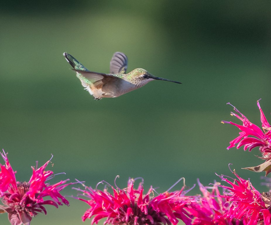 Female hummingbird on the way to a flower