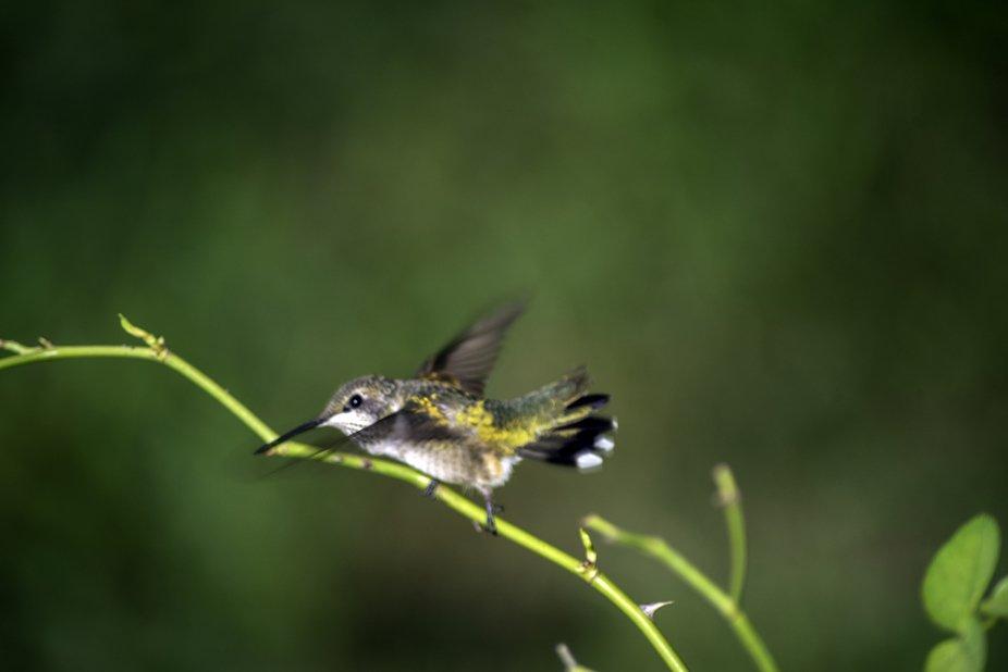 Hummingbirds 2019_0561