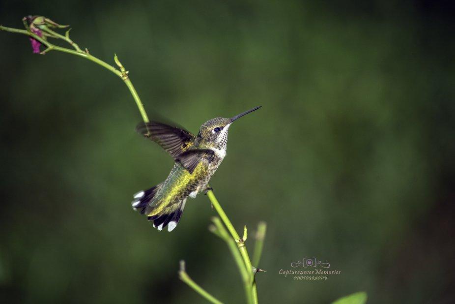 Hummingbirds 2019_0570