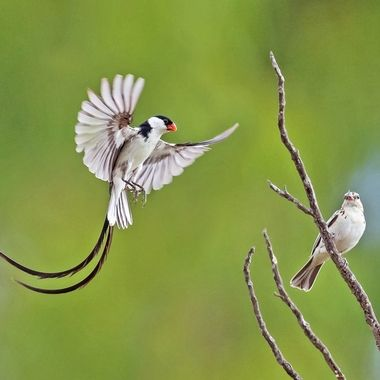 Pin-tailed Whydah DSC07665