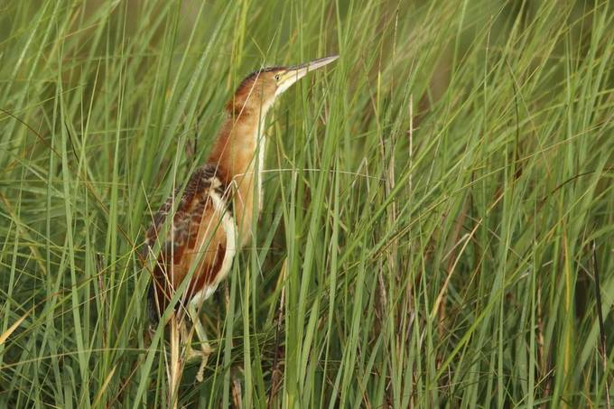 The Least Bittern is an extremely shy bird. This is one of four at the nesting site.