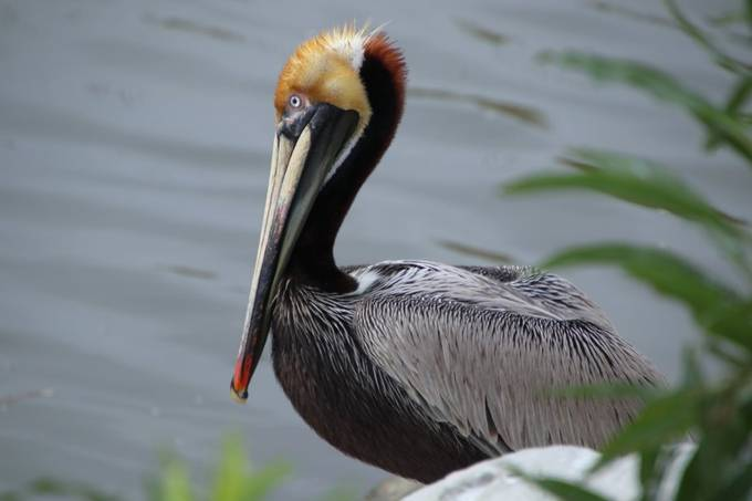 A brown pelican in its full breeding colors