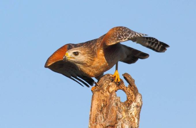 This hawk is just about to take flight. Can see where it got its name - Red-shouldered hawk.