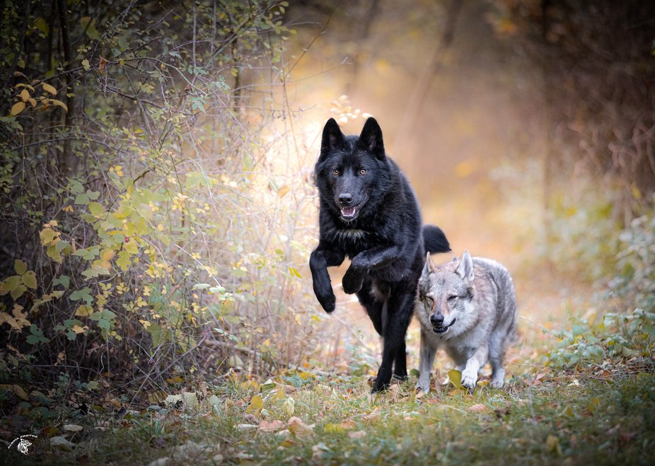 2 of my wolfdogs playing in the forest