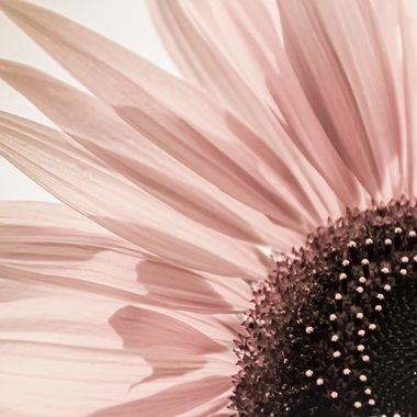 Pastel Sunflower2