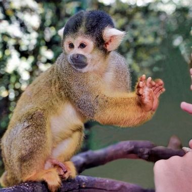 Bolivian Squirrel Monkey (2) - Mogo Zoo