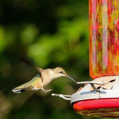 Hummingbird Series I