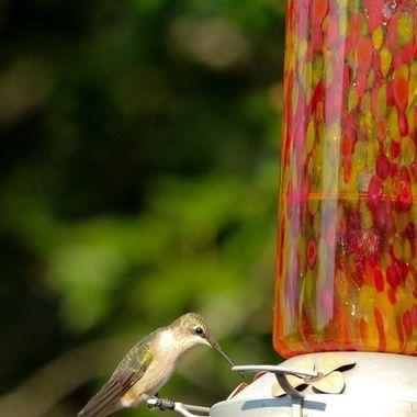 Hummingbird Series V