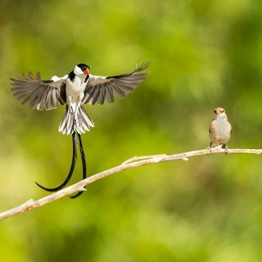Pin-tailed Whydah DSC08221