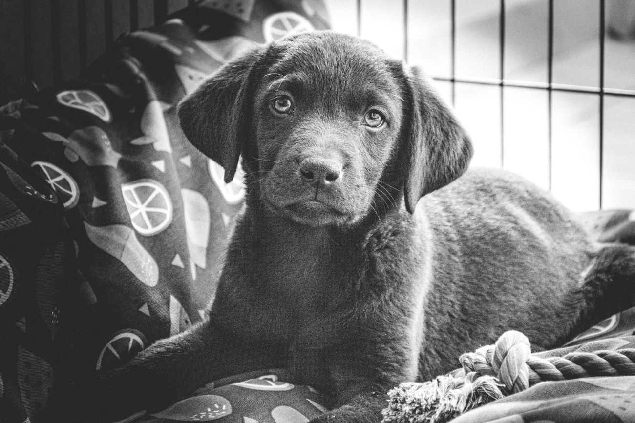 My new pet labrador puppy posing for her first portrait picture after arriving home.