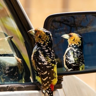 Crested Barbet reflecting