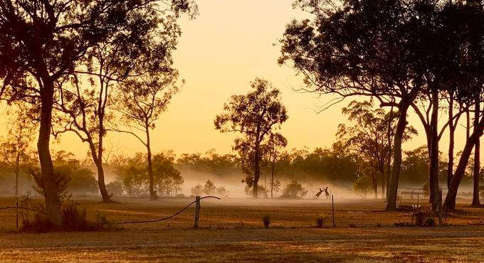 Two male kangaroos boxing for dominance in the early morning sunrise