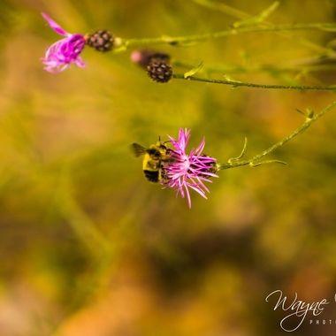 Bumble Bee at MacDonald Lake, MT, Glacier National Park
