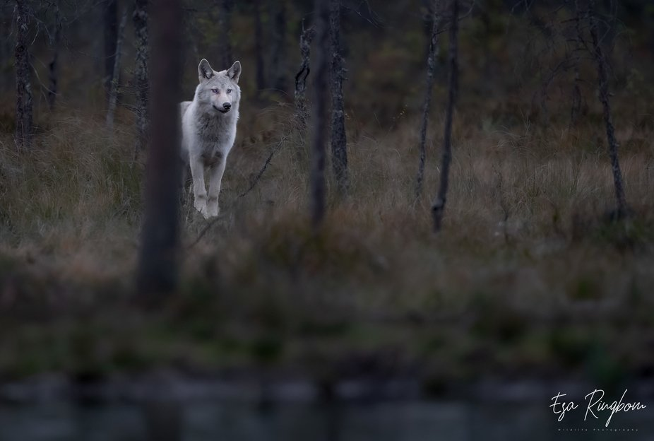 The picture shows a wolf free in the wilderness.