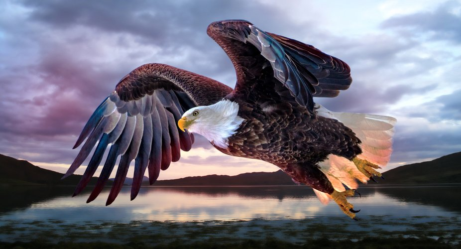 American Bald Eagle - Starved Rock Park IL