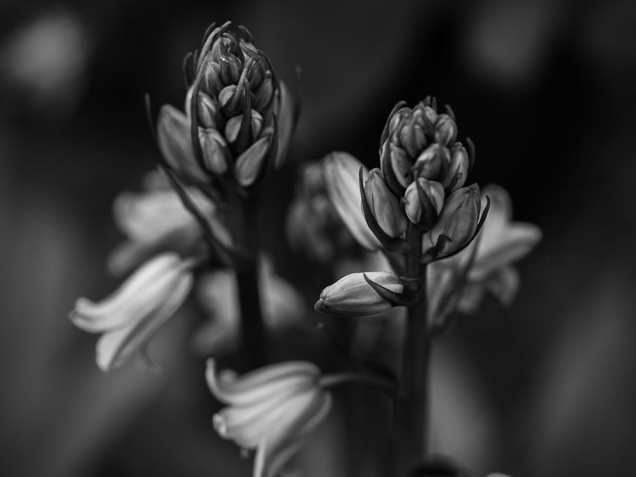 a black and white variant of a spring time classic of bluebells. I like to shoot bluebells in mac...