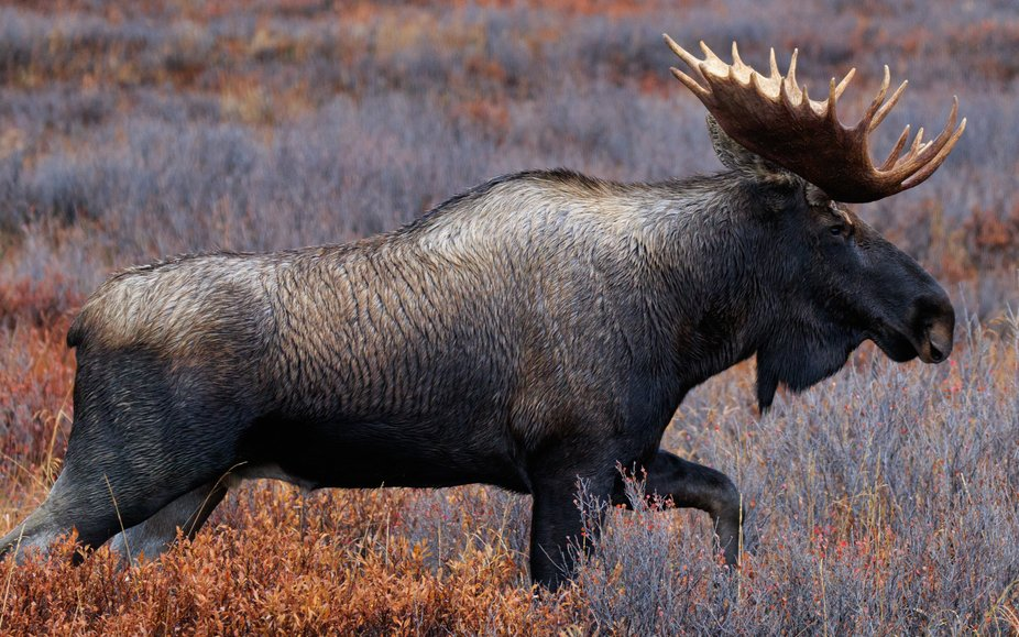 Larger version of profile of Bull Moose - Denali NP.