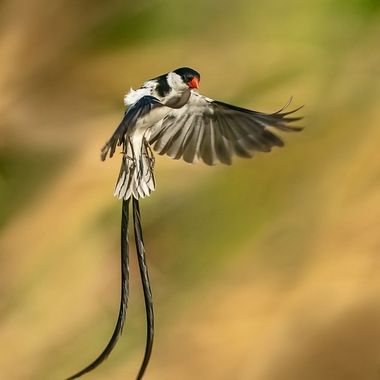 Pin-tailed Whydah DSC08302