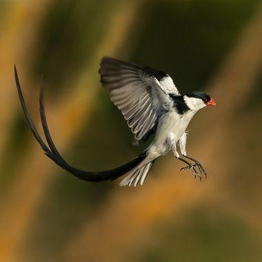 Pin-tailed WhydahDSC08295