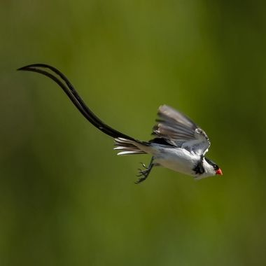 Pin-tailed Whydah DSC08413