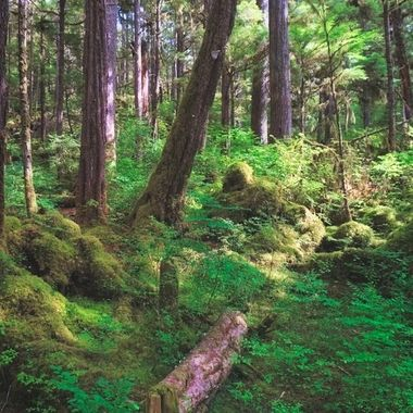 Preserved old growth timber