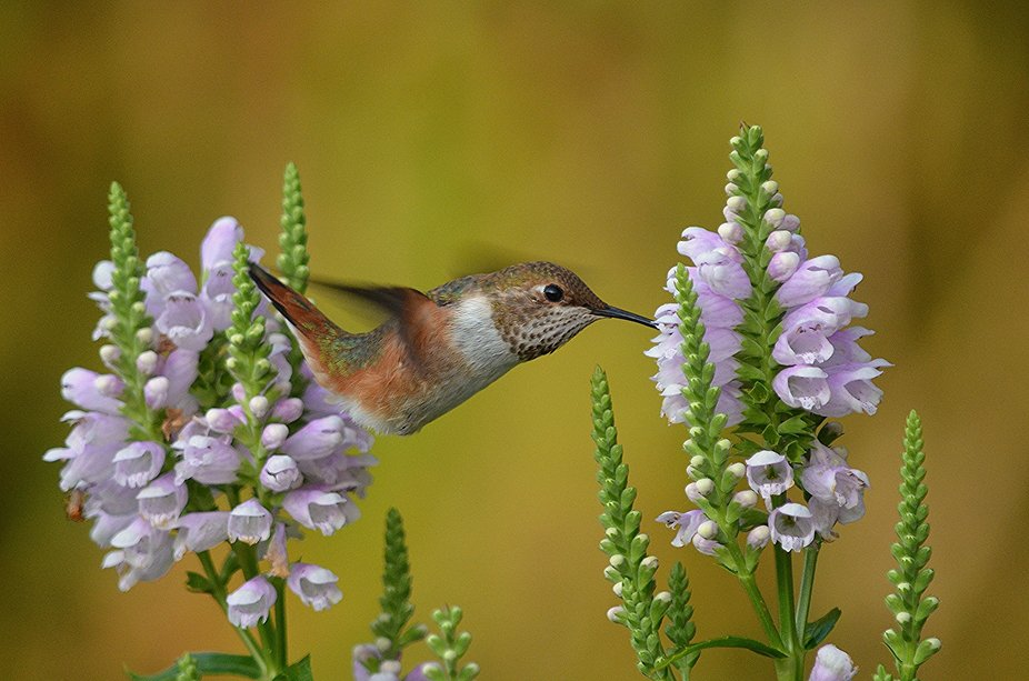 A Rufus Hummingbird enjoying the flowers.  They are always a joy to watch and photograph.