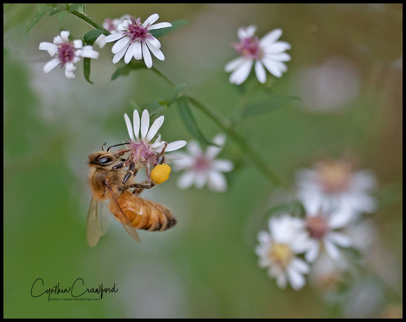 Bee in the asters