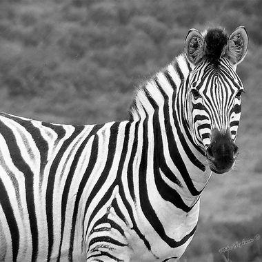 B&W Zebra