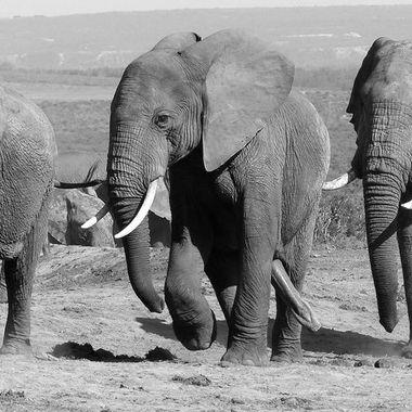 Elephant Bulls chasing a Female