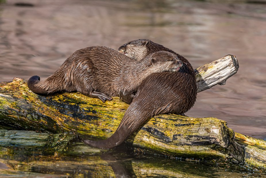Eurasian Otters (Cuddle)