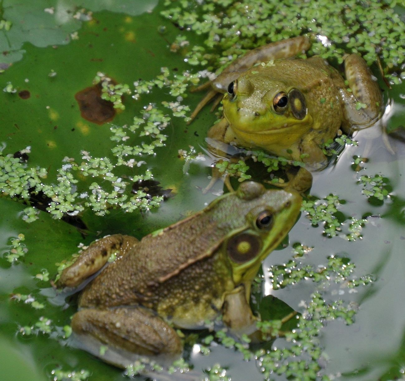 Frogs popped up and hopped on the same Lily Pad.