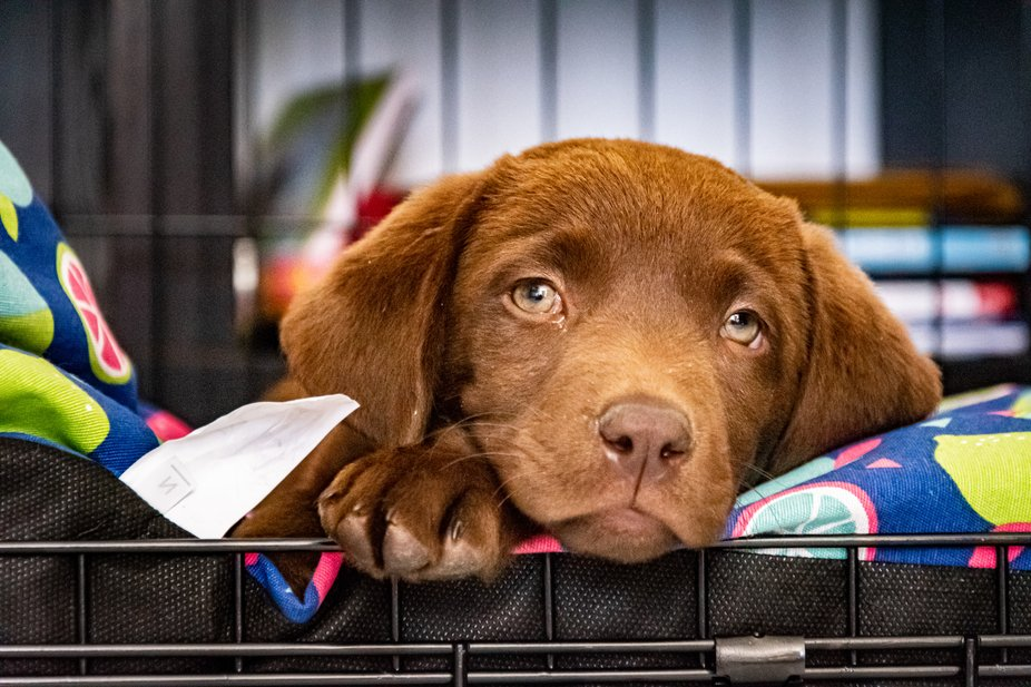 a cute shot of my new chocolate labrador falling asleep in her new home on her first day home