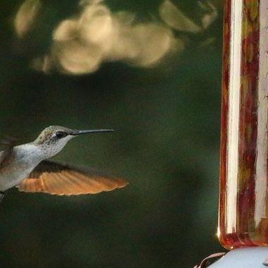 Hummingbird Series VII