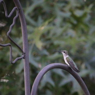 Hummingbird Series IX