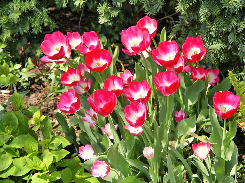 Tulips growing in group.