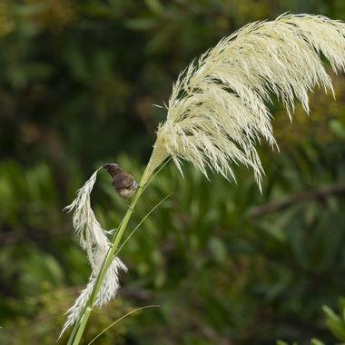 Scaly-breasted Munia DSC09381