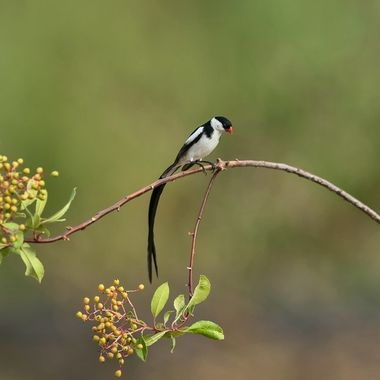 Pin-tailed Whydah DSC09371