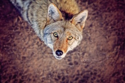 Fox up!