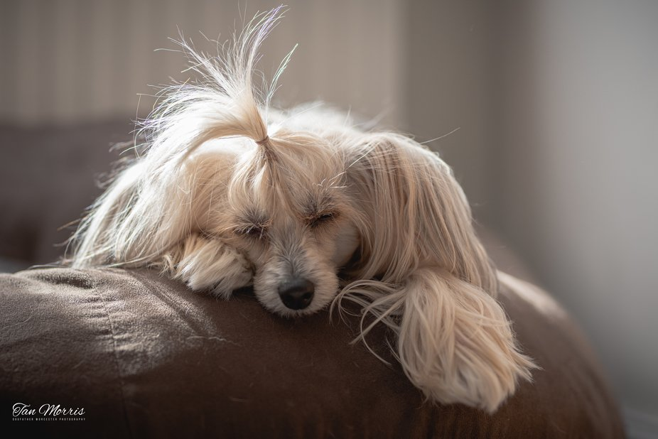 Chinese Crested - Fisa