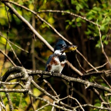 Belted King Fisher caught one