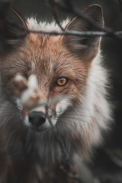 A Fox with a Mane