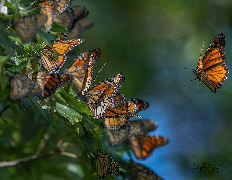 The Monarch Migration