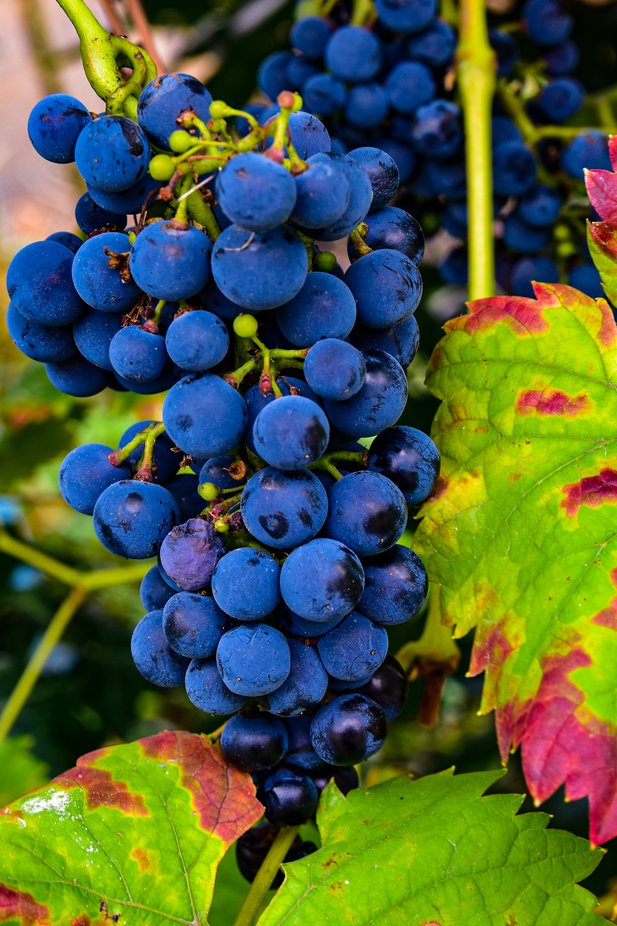 Bereit Ende September zur Weinlese